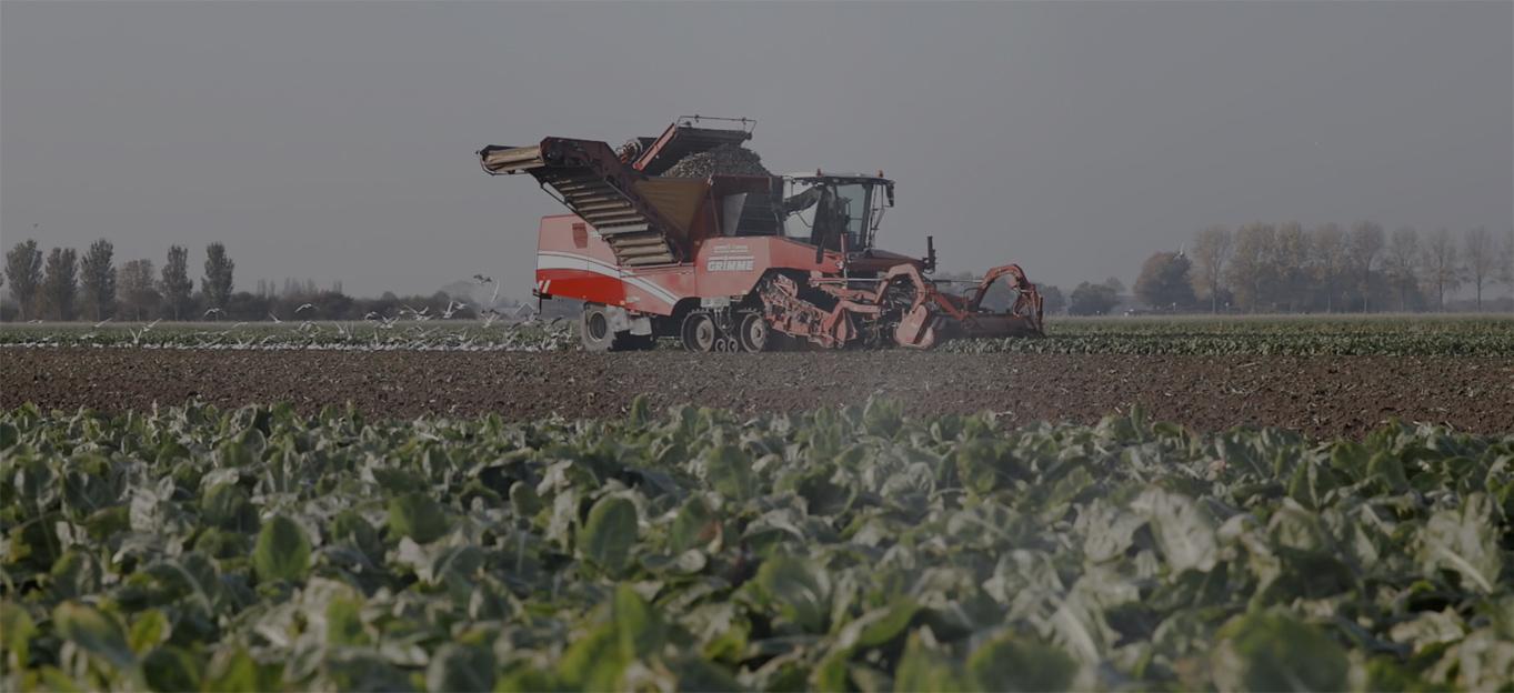 Scoprite come viene coltivata l'indivia belga di altissima qualità
